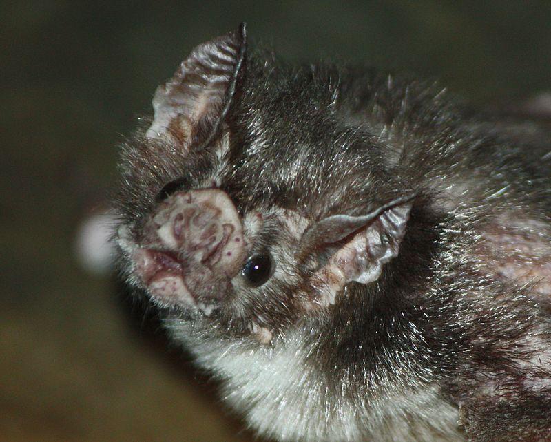Мышь вампир
