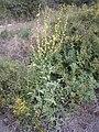 Verbascum tripolitanum 3.JPG