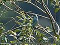 Verditer Flycatcher (Eumyias thalassinus) (37767038752).jpg