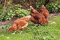 Vereya chicken 29.JPG