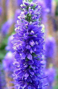 Veronica spicata - Wikipedia, the free encyclopedia  Veronica spicat...