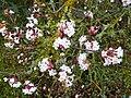 Viburnum × bodnantense in flower - geograph.org.uk - 1054804.jpg