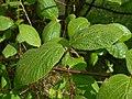 Viburnum cotinifolium 2017-05-31 1544.jpg