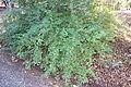 Viburnum foetidum var. ceanothoides - Quarryhill Botanical Garden - DSC03350.JPG