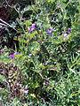 Vicia angustifolia Habitus 19April2009 DehesaBoyaldePuertollano.jpg