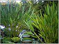 Victoria amazonica - Master Botany Photography - September 2013 - Botanischer Garten Freiburg - panoramio.jpg