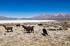Vicuñas (Vicugna vicugna), Laguna de Salinas, Arequipa, Perú, 2015-08-02, DD 46.JPG