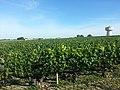 Vignoble de Haut Brion.jpg