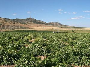 Vineyard in Ciudad Real.
