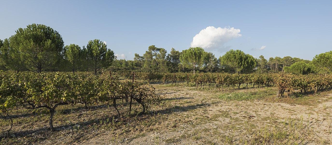 Vineyards in the Domaine départemental de Restinclières. Prades-le-Lez, Hérault, France.