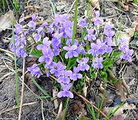 Viola hirta1.JPG