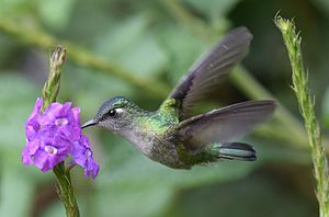 Violet-crowned Hummingbird (25152913465) (cropped).jpg