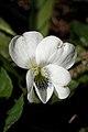 Violet (Viola sp.) - Kitchener, Ontario 03.jpg