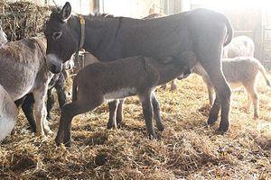 Donkey milk - Image: W46q 35