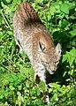Walking-lynx.jpg