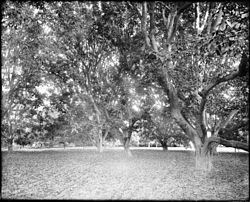 Walnut orchard at the ranch of J.D. Durfee, El Monte(?), California, ca.1910 (CHS-5309).jpg