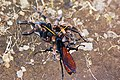 Wasp with Orange-kneed tarantula.JPG