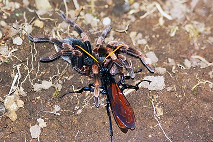 Tarantula hawk wasp dragging an orange-kneed tarantula to her burrow; this species has the most painful sting of any wasp. Wasp with Orange-kneed tarantula.JPG