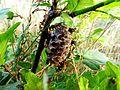 Wasps nest guarding. - panoramio.jpg