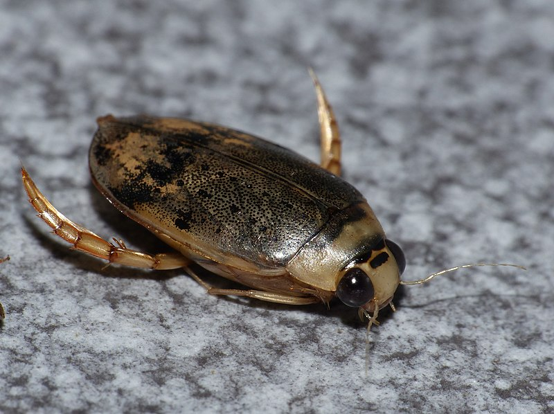 Water Beetle (Eretes sticticus) attracted to light (13992967946).jpg