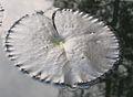 Water lily leaf.jpg