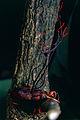Weevil (Curculionidae) killed by Fungus (Ophiocordyceps curculionum) (10745557396).jpg