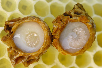 Queen bee - Queen larvae floating on royal jelly in opened queen cups laid on top of wax comb.