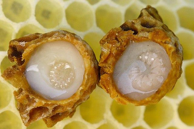 Royal Jelly Health Benefits 640px-Weiselzellen_68a