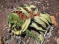 Welwitschia Mirabilis, Männliche Blüte Namibwüste, Namibia 02.jpg