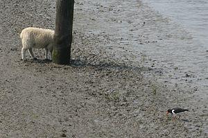 Wesselburnerkoog austernfischer und schafklein.jpg