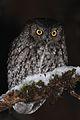 Western Screech Owl (6603588267).jpg