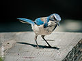 Western Scrub Jay on a bench.jpg