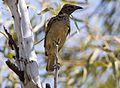Western bowerbird (7984930550).jpg