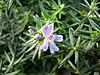 Westringia eremicola flower and fruit.jpg