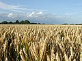 Wheat - geograph.org.uk - 1439774.jpg