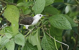 White-headed Wren2.jpg