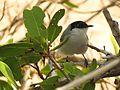 White-lored Gnatcatcher - Flickr - treegrow.jpg