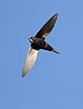 White-rumped swift, Apus caffer, at Suikerbosrand Nature Reserve, Gauteng, South Africa (22985026289).jpg