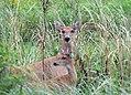 White-tailed Deer at Port Louisa National Wildlife Refuge in Iowa (28581860803).jpg