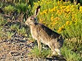 White-tailed Jackrabbit on Seedskadee National Wildlife Refuge (21969490296).jpg