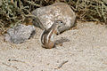 White-tailed antelope squirrel in Anza Borrego park.jpg