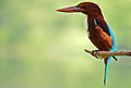 White-throated Kingfisher (Halcyon smyrnensis).JPG