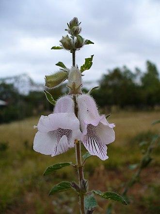 Pedaliaceae - Image: Whiteflowers 5