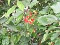 Wild Cherries - geograph.org.uk - 501613.jpg