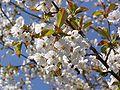 Wild Cherry Flowers.JPG