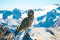 Wild Kea at the peak of the Arthur's Pass (Unsplash).jpg
