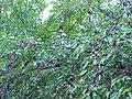 Wild cherries 4.JPG