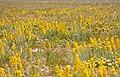 Wildeviolettes (Lebeckia sepiaria) (32833360655).jpg