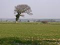 Wind-blown tree - geograph.org.uk - 383888.jpg