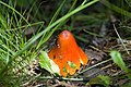 Witchs hat Hygrocybe conica (4961190297).jpg
